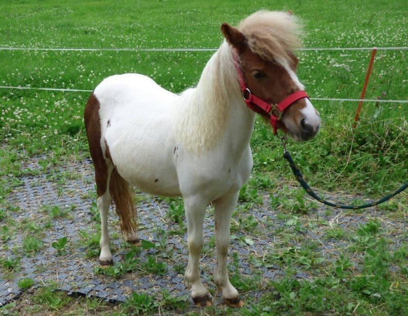 vermittelte Pferde